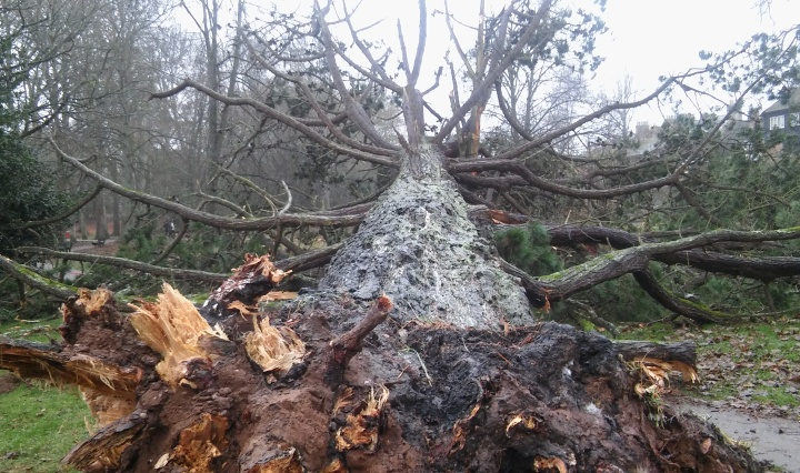 ex10-great-fir-tree-fallen