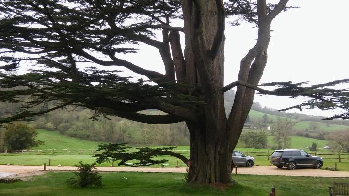 the pig honiton tree